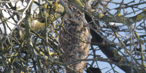 A long-eared owl in Vellmar-West 2